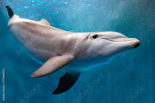 Ingelijste posters Dolfijn dolphin underwater on blue ocean close up look