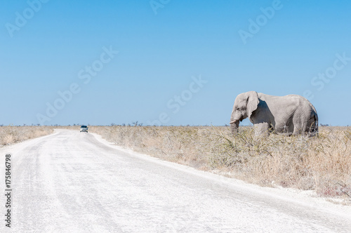Fotobehang Olifant White African elephant, covered with white calcrete dust