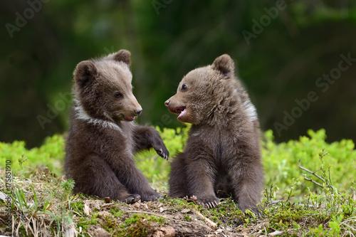 Valokuvatapetti Brown bear cub