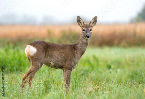 Foto op Plexiglas Ree Wild roe deer in a field