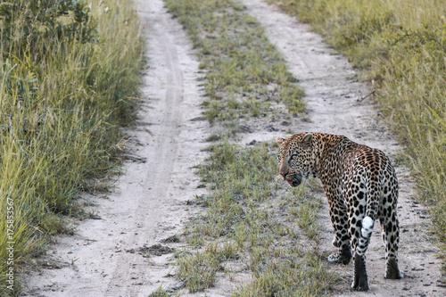 Plakat Leopard, szybki kot z Afryki. Zdjęcie zostało wykonane w Parku Narodowym Krugera w Republice Południowej Afryki.