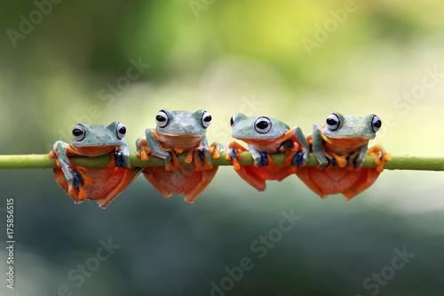 Tree frog, flying frog, rhacophorus reinwardtii, Indonesia