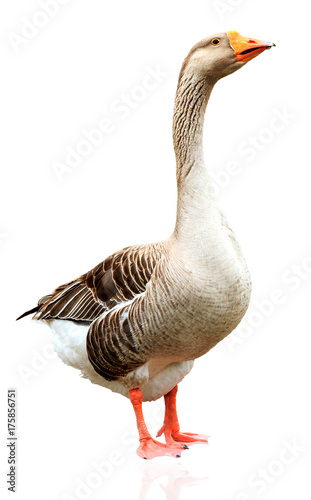 Closeup shot of big adult goose, isolated on white background