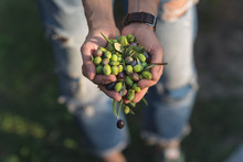 Handful Of Olives, Taggiasca Or Cailletier, Cultivar Grown Primarily In Southern France Near Nice And In The Riviera Di Ponente, Liguria, Italy