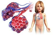 Child's Alveoli And Capillaries, Illustration