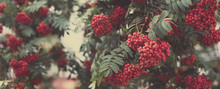 Rowan Berries On A Bush, Autumn Or Fall Background, Long Format For Web Design, Selective Focus, Shallow Depth Of Field, Toned Image