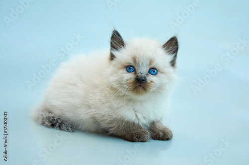 Photo Cute Balinese kitten playing on a gray background