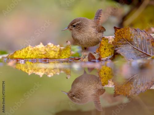 Fotografie, Obraz Reflection Eurasian wren autumn colored leaves