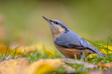 Eurasian Nuthatch Autumn Color