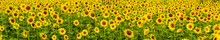 Field Of Happy Sunflowers