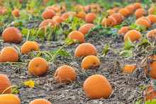 Bright Orange Pumpkins Ready F...