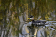 Red-necked Grebe Chick