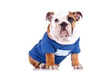 Dressed English Bulldog Puppy ...