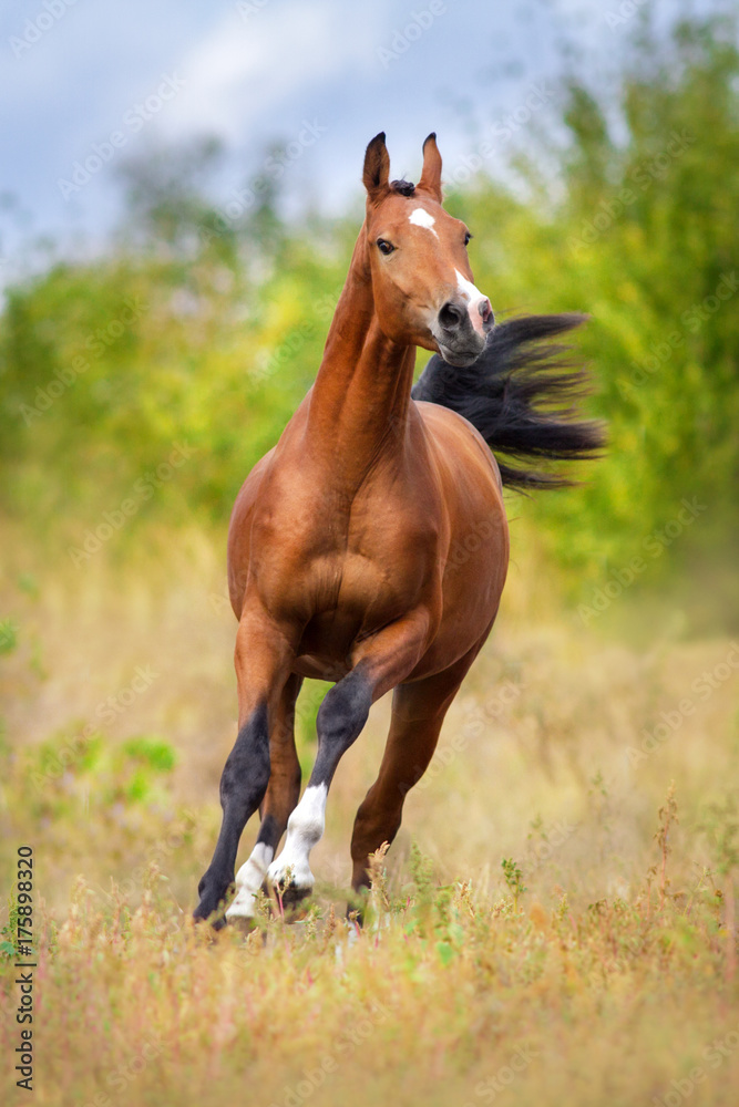 Fototapety, obrazy: Bay arabian horse run fast outdoor