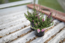 Close Up Of Young Pink Heathers On Silver Corrugated Shelving In Black Plant Pots In A Green House Or Potting Shed In England, UK