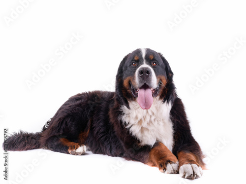 bernese mountain dog in front of white background studio Canvas Print