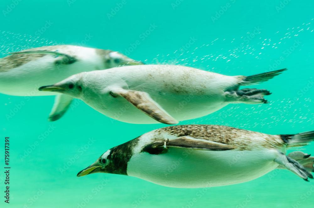Gentoo penguins swimming under water