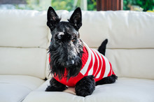 A Scottish Terrier Scottie Dog...