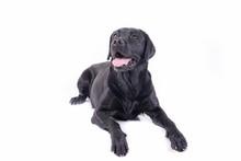 Labrador Retriever In Front Of...