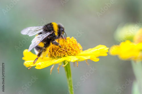 Close up of beautiful striped bumblebee gathering pollen from yellow garden flower Poster Mural XXL