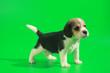 Leinwanddruck Bild - 1 month pure breed beagle Puppy on green screen