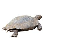 Burmese Mountain Tortoise On White Background, Clipping Path