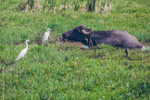 Keuken foto achterwand Ontspanning buffalo and the bird