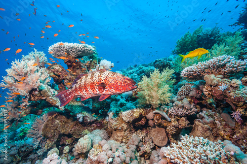 Poster Koraalriffen A Coral Grouper and other tropical fish on a coral reef