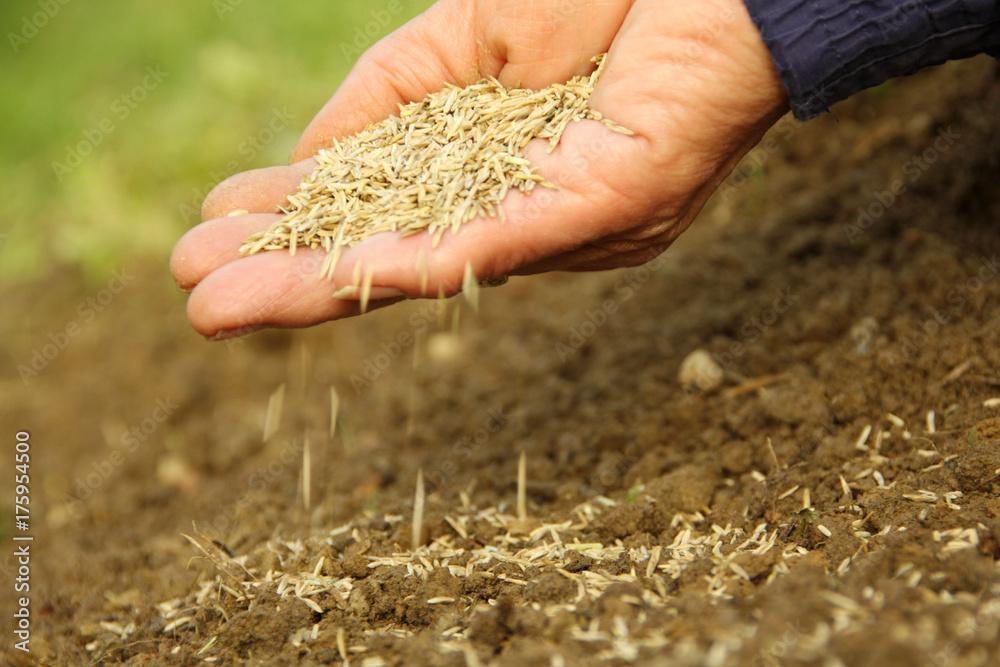 Fototapety, obrazy: Seed lawn