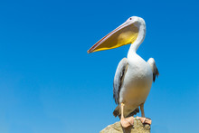 Great White Pelican On The Fie...