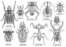 Group Of Exotic Insect Illustration, Drawing, Engraving, Ink, Line Art, Vector