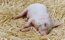 Close Up Of Sleeping Bay Pig O...