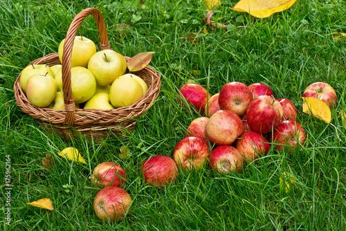 Plakat Czerwoni jabłka w trawie w ogródzie