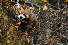Red Panda Feeding On Berries
