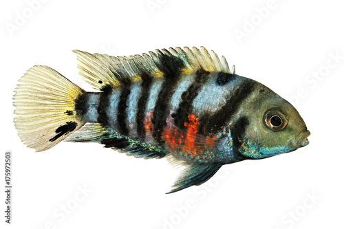 Fotografia  Convict cichlid Amatitlania nigrofasciata zebra cichlids aquarium fish