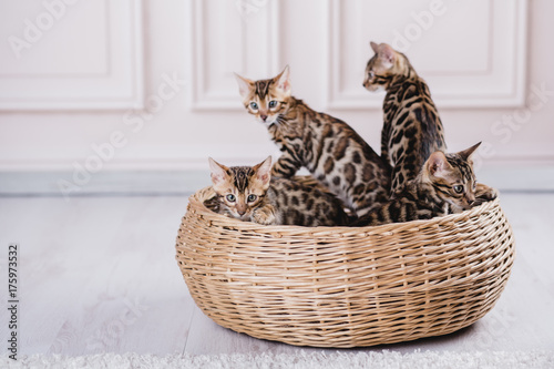 bengal cats babys leopard kitten Canvas Print