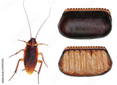 American cockroach (Periplaneta americana) and its egg case (ootheca) isolated on a white background