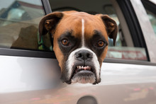 Boxer Dog With Angry Funny Face