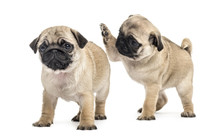 Pug Puppies Playing Together, ...