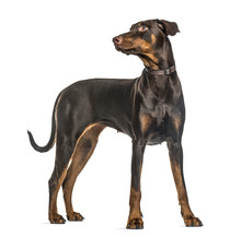 Attentive Doberman Pinscher St...