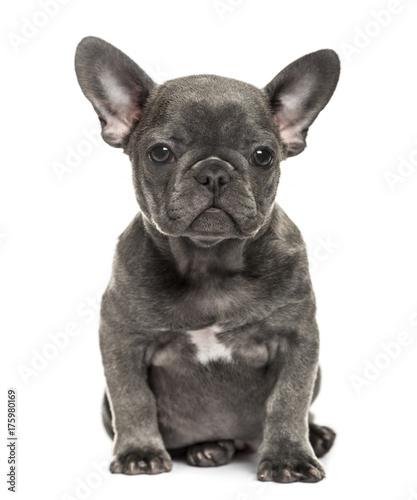 Tuinposter Franse bulldog Grey french bulldog sitting, isolated on white