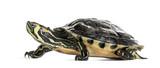 Fototapeta Zwierzęta - Pond slider turtle, isolated on white