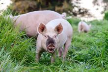 Free Range Pigs On A Farm, Smi...