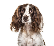 Close-up Of English Springer S...