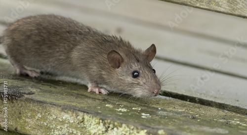 Photo  Brown rat