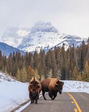 Two Buffalo In Yellowstone Opt...