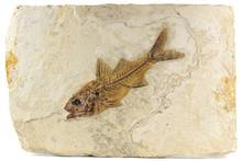 Dapalis Macrurus Fish Fossil From Aix-en-Provence, France