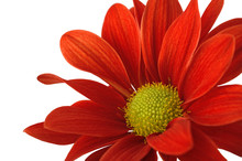 Red Flower Alone On A White Background