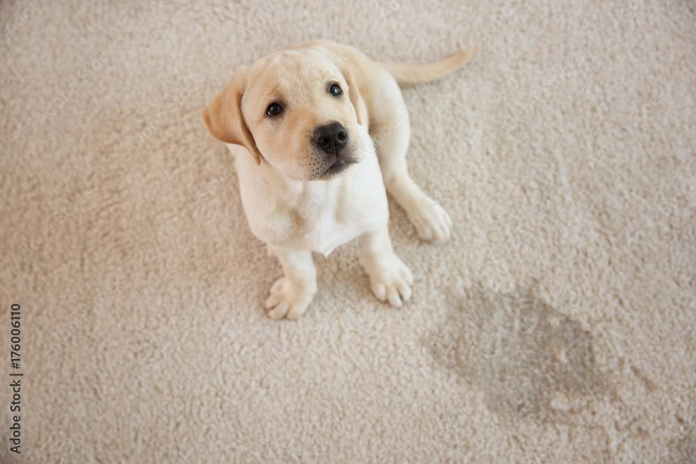 Cute puppy sitting on carpet near wet spot