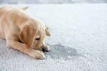 Cute Puppy Lying On Carpet Nea...